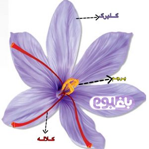 baghboom-saffron-flower-blog-baghboom.com.jpg