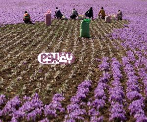 bagboom_Harvesting-saffron-flowers_baghboom.com